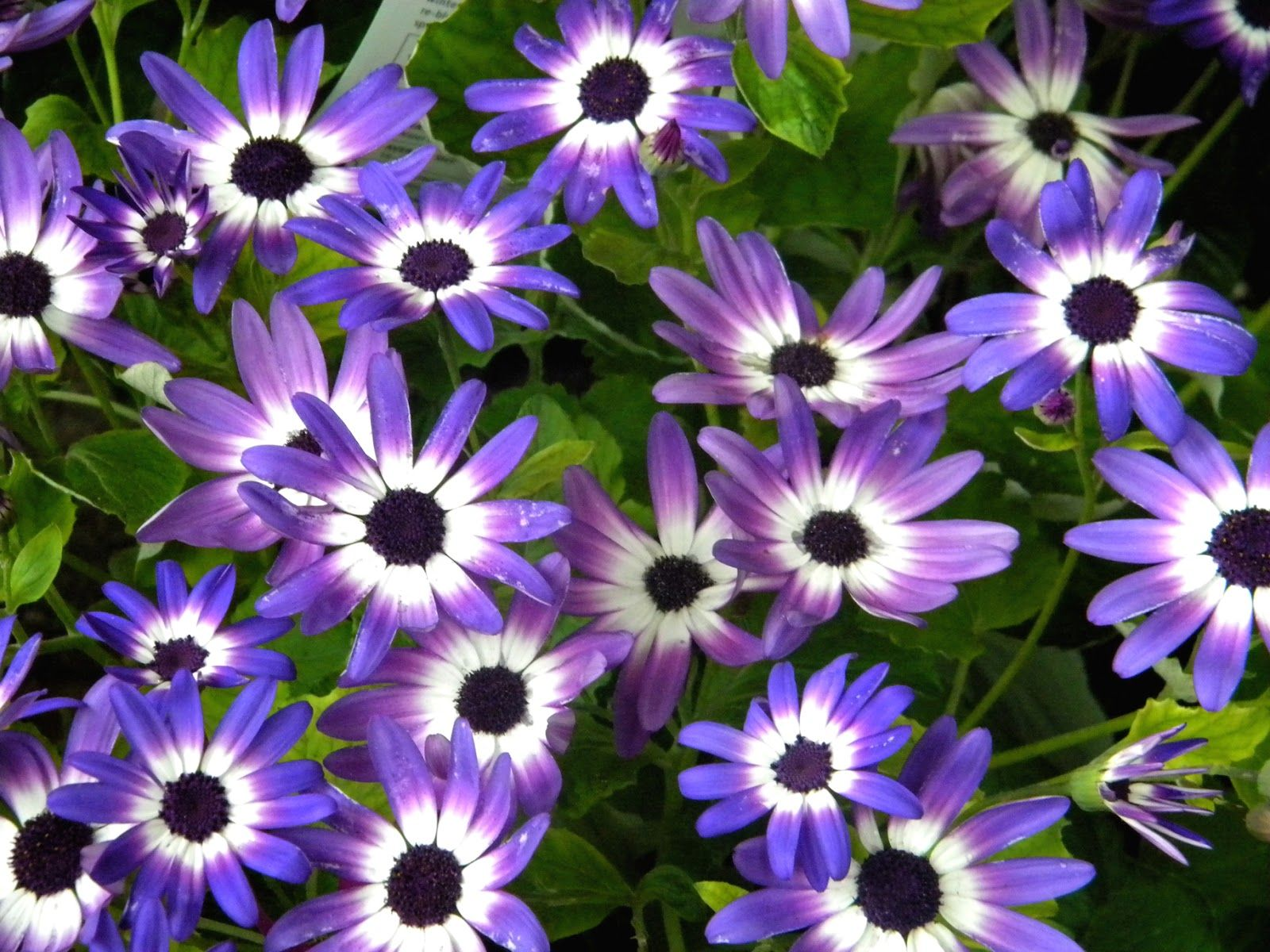 Excellent purple white flowers names ideas images for wedding gown gallery of purple white flowers names blue daisy violet daisies spring flowers blue daisies signal the mightylinksfo