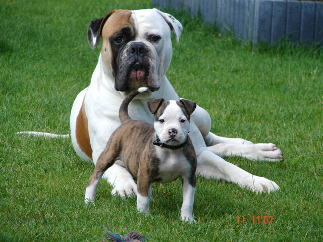 American Bulldog American Bulldog Puppies Bulldog Puppies