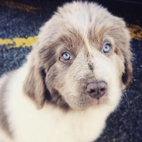 My 9 Week Old Female Newfoundland Puppy The Blue Eyes