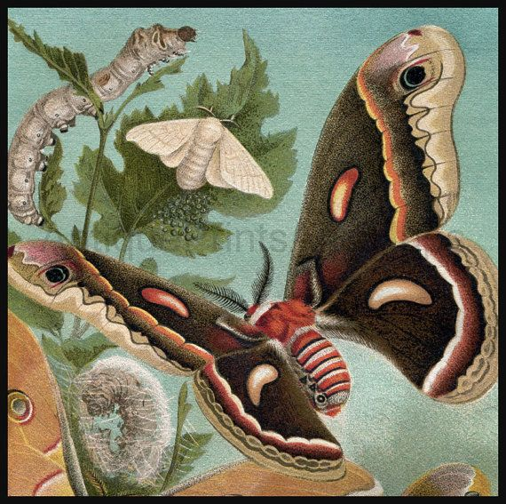 Beautiful Silkworm Moths. And look at the teal background. You can literally see the texture of the chromolithograph.