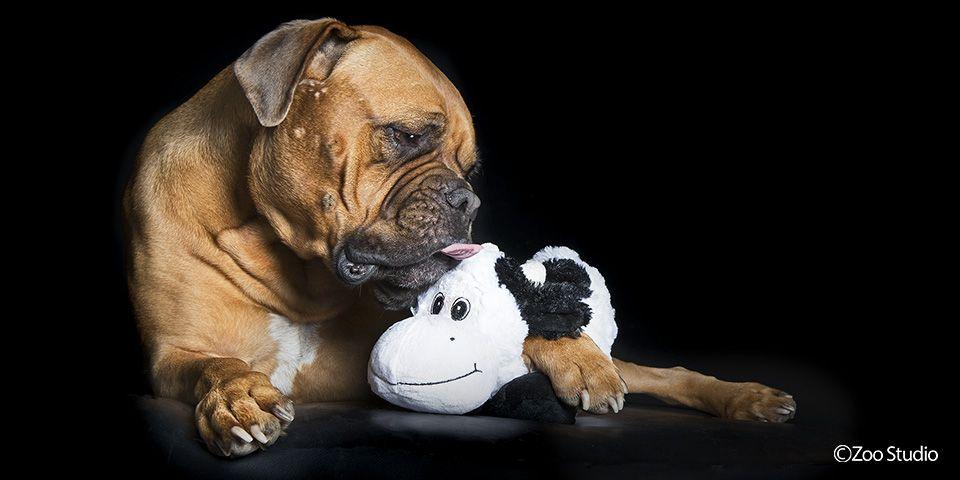Roko The Bullmastiff X Dogue De Bordeaux Zoo Studio Pet