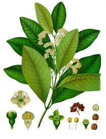 Allspice - Benefits, Side Effects and Uses