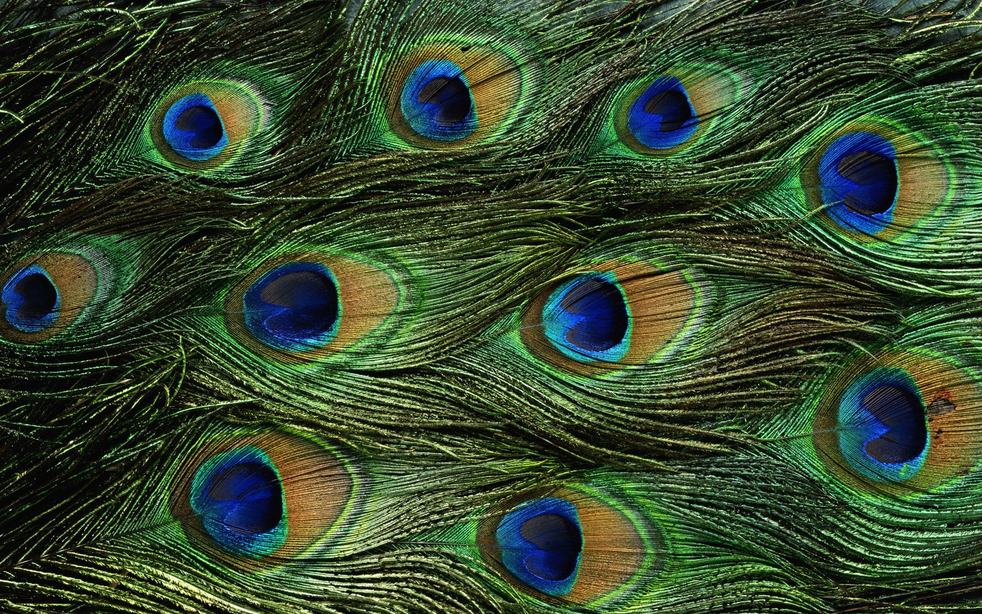 Male peacock feathers patterns around us pinterest for Peacock feather template