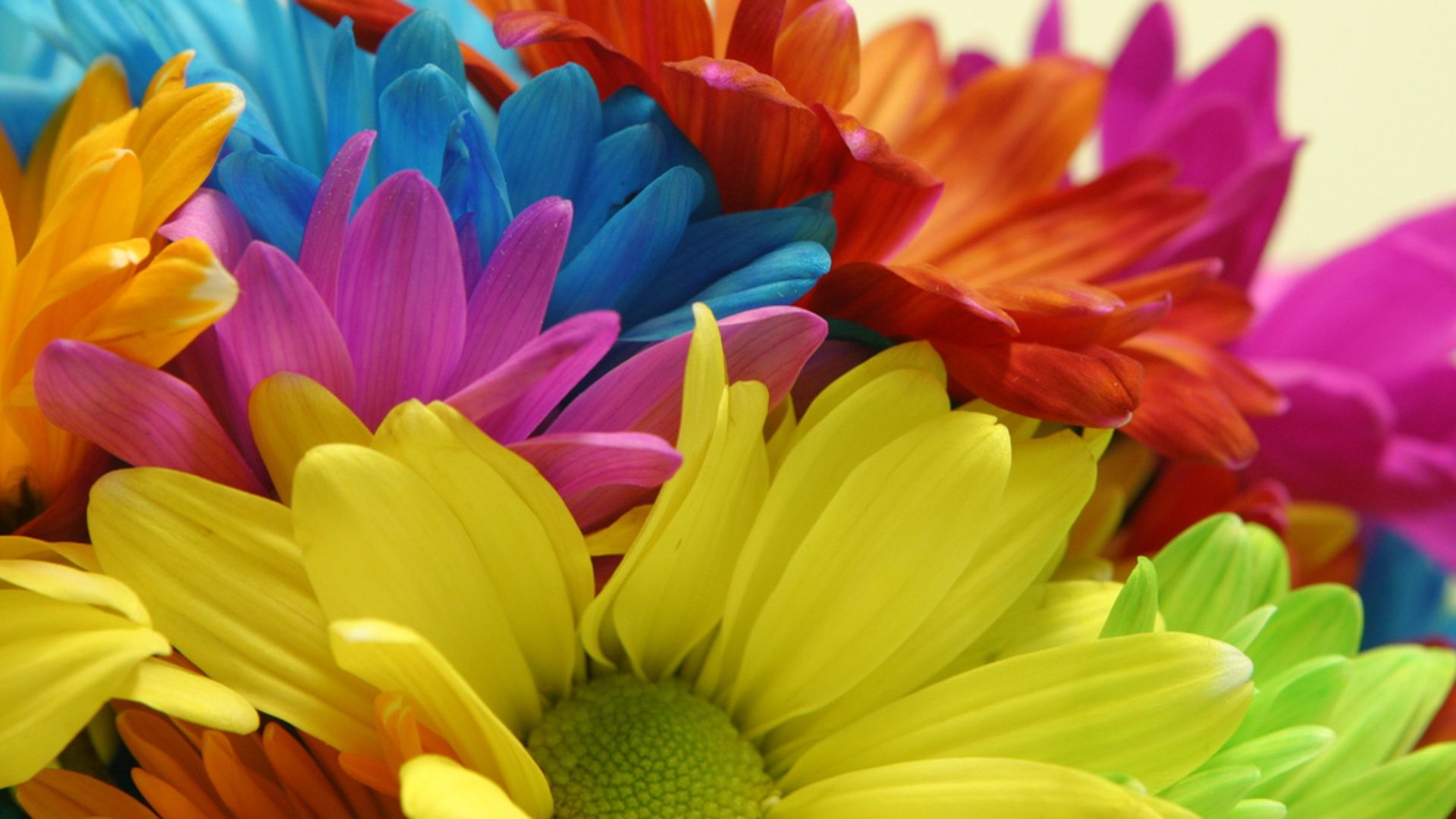 Rainbow daiseys colorfulflowerspictures colorful daisy flowers types of flowers daisies daisies are flowers that have white petals and yellow centersdaisies are very popular in flower arrangem izmirmasajfo