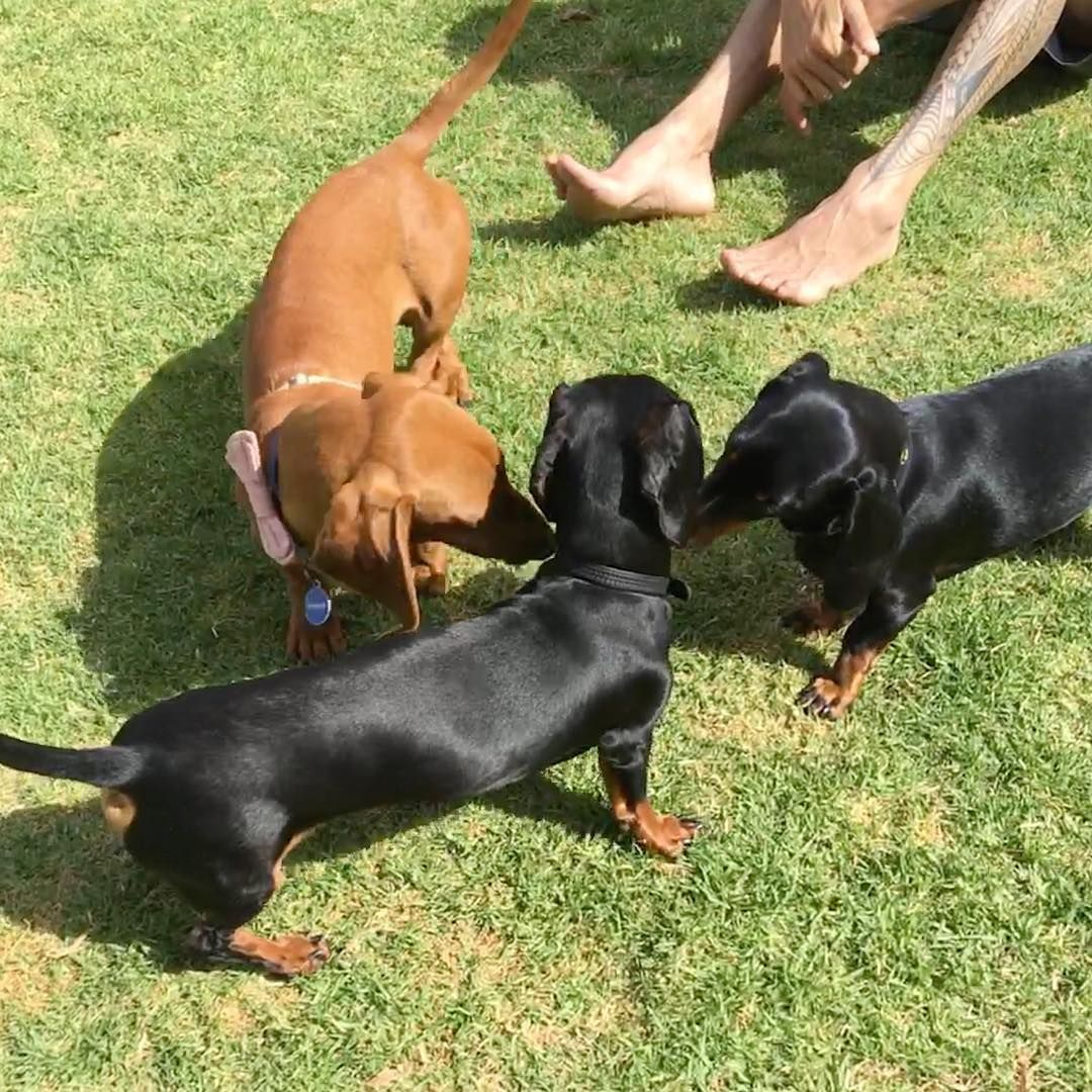 Dachshund Products Apparel And Gifts Dachshund Weenie Dogs Dogs