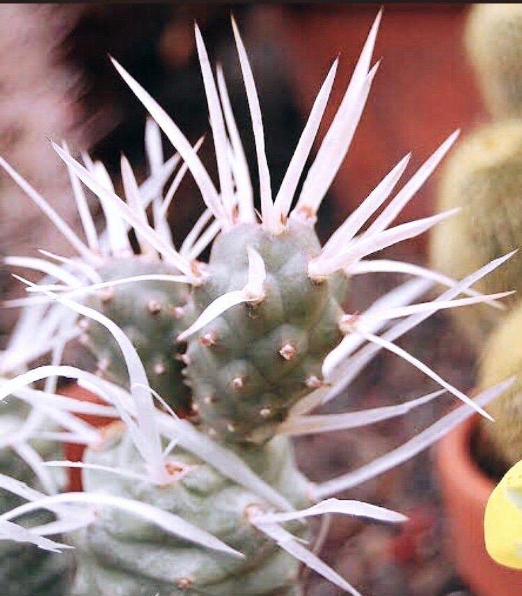 Tephrocactus papyracanthus STRANGE! Gorgeous RARE