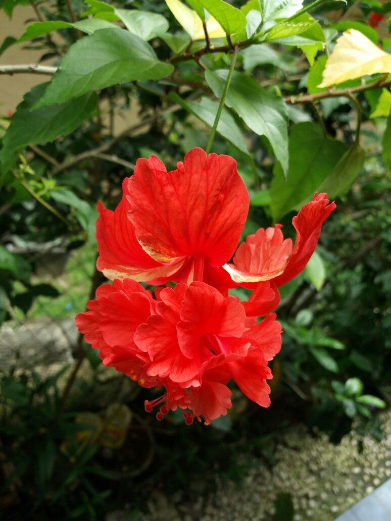 Red Hibiscus Flowers Pinterest Hibiscus Flowers And Tropical