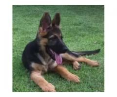 German Shepherd Puppies Male And Female Available For Sale In