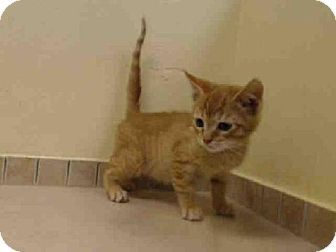 Brooklyn, NY - Domestic Shorthair. Meet RONNIE a Kitten for Adoption.