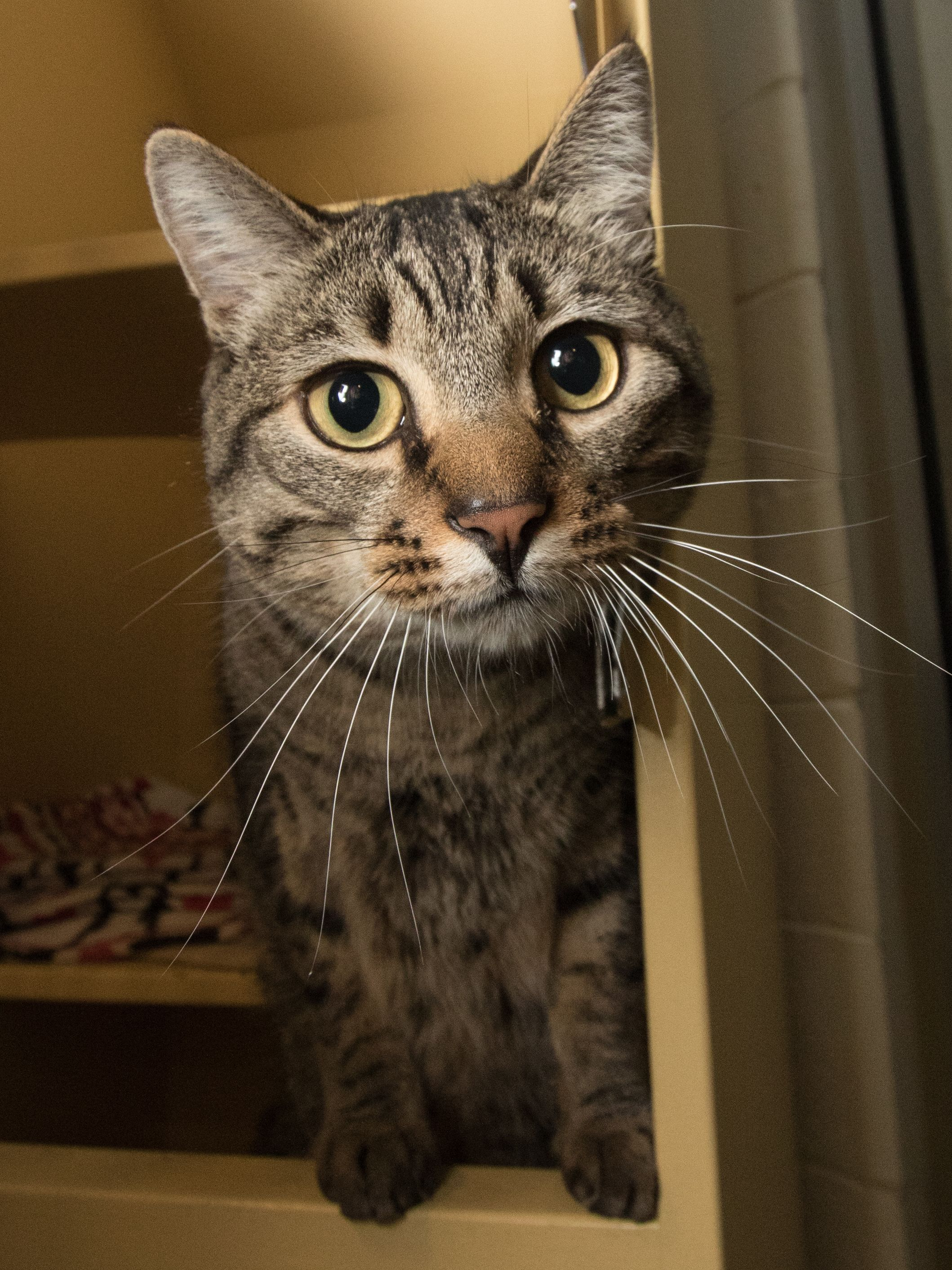 MILO is an adoptable domestic short hair searching for a