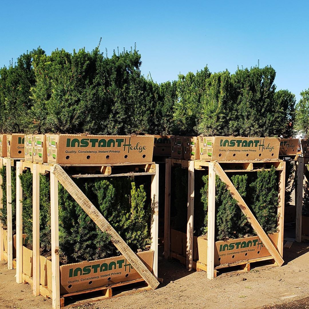 There Is Still Time To Order Hedges For October Installations Our
