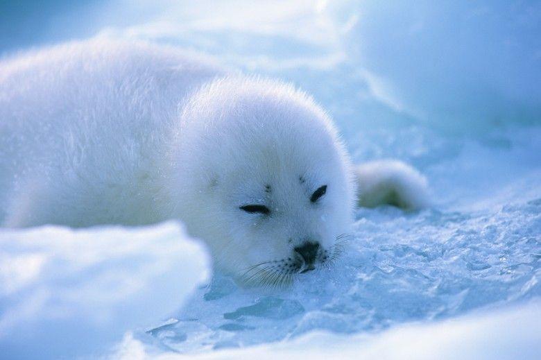 Harp Seal 3 Harp Seal