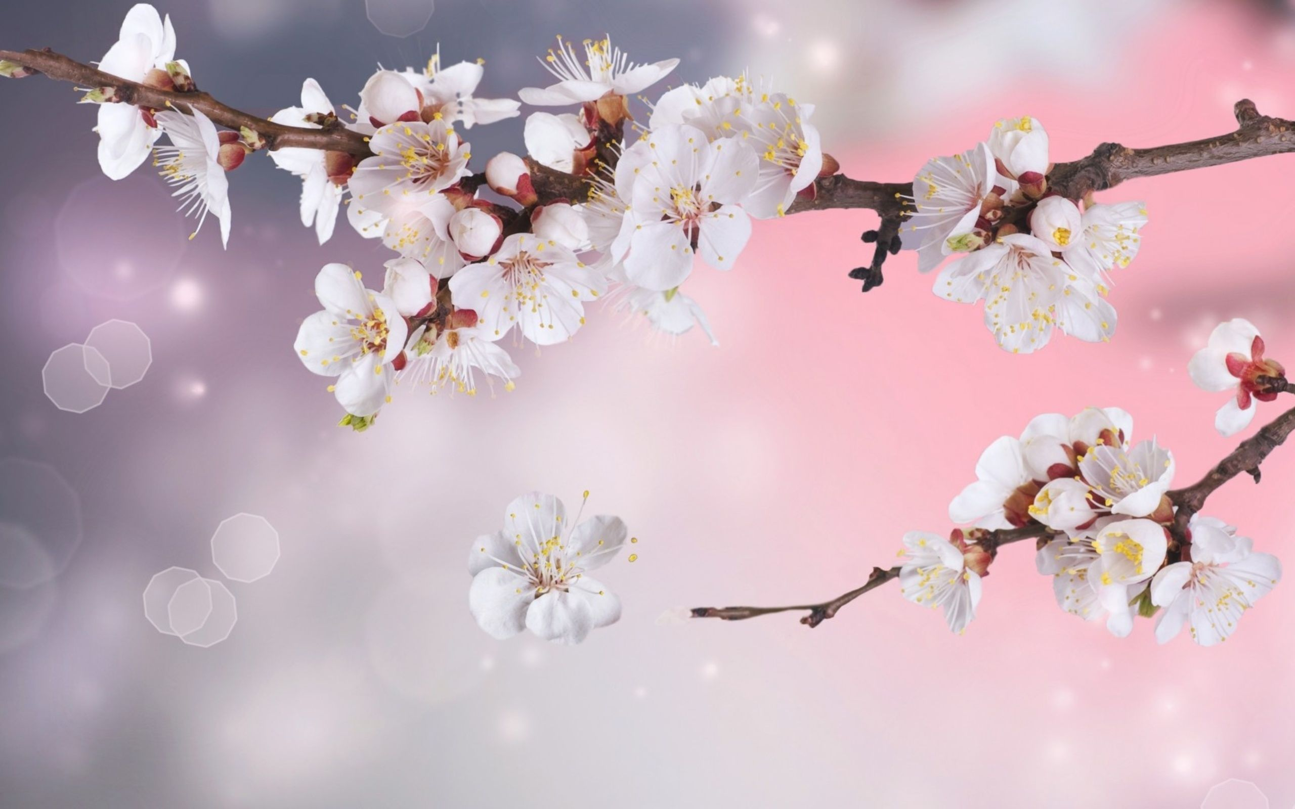 Flowers Wallpaper White Cherry Blossoms Wallpaper Desktop