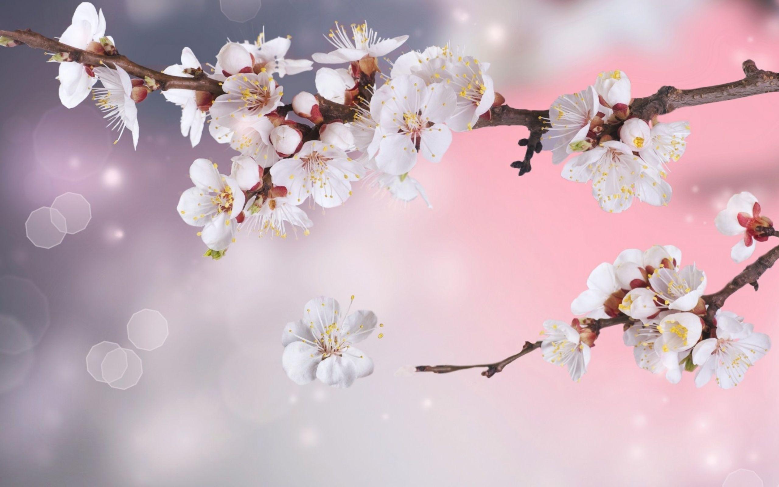 Flowers Wallpaper White Cherry Blossoms Wallpaper Desktop White Cherry Blossom Cherry Blossom Wallpaper Blossom