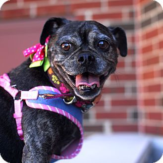 Pin By Ina Knows On Let S Help To Adopt Our Senior Pet Pug Mix