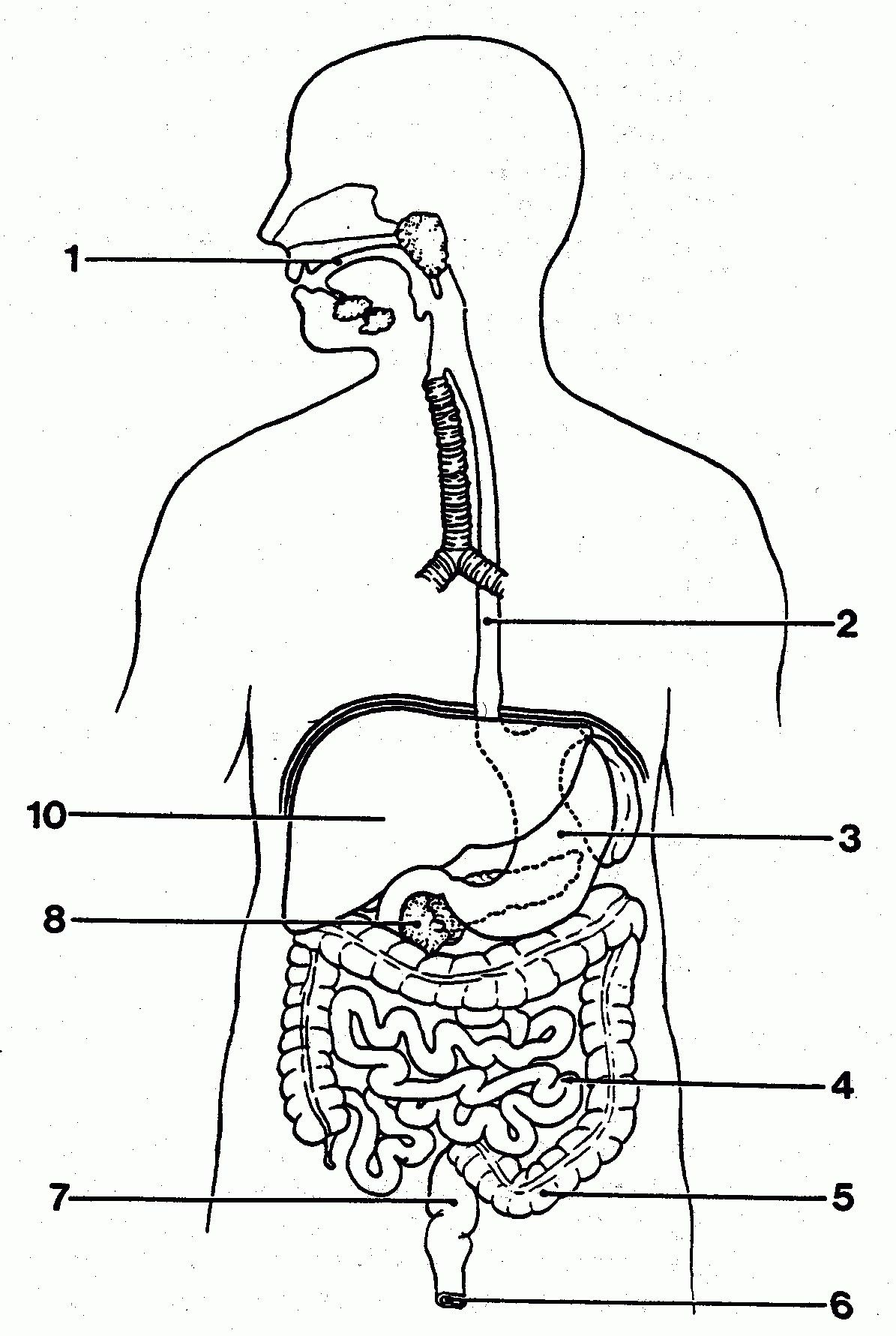 simple digestive system diagram   simple digestive system diagram pictures simple digestive