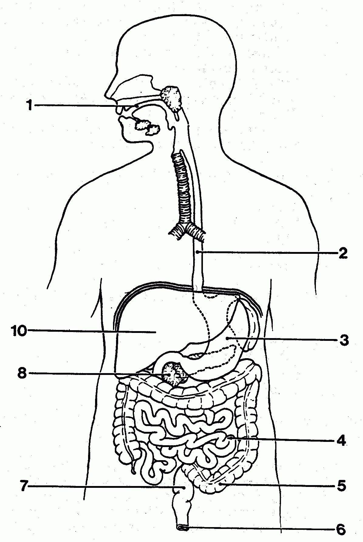 medium resolution of simple digestive system diagram simple digestive system diagram pictures simple digestive system diagram anatomy and