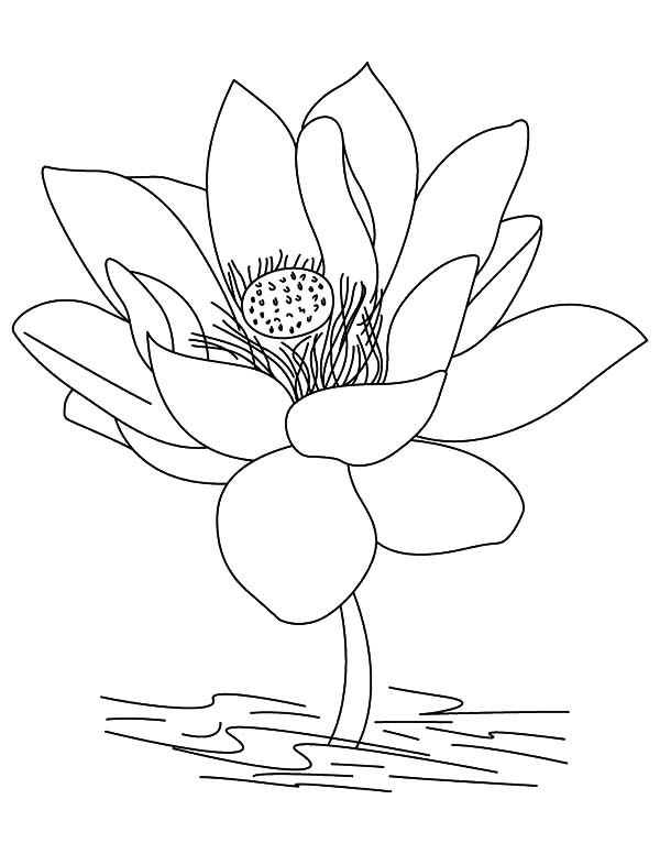 lotus flower in blossom coloring pages - Lotus Flower Coloring Page