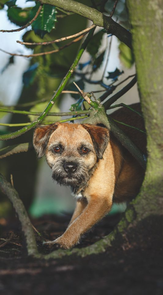 Border Terrier By Catsdog Photography Border Terrier