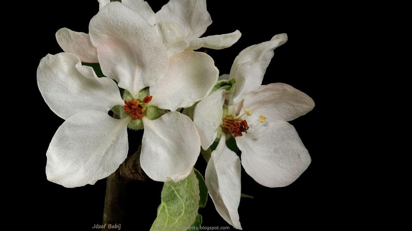 Tapety Na Pulpit 4k Ultra Hd Full Hd I Inne Rozdzielczosci Jablon Ozdobna Dolgo Kwiaty Malus Flowers Plants