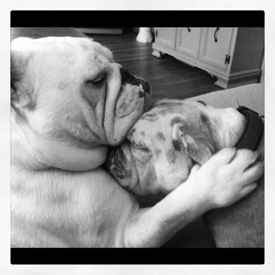 All you need is love Bulldog, Bulldog rescue, Bulldog funny