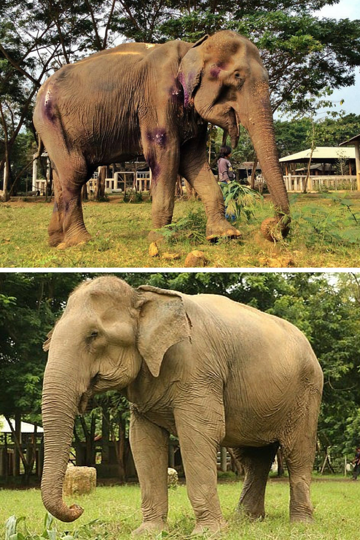 A 70 Year Old Elephant Rescued From A Horrific Life Trekking Tourists In Thailand Looks Like A Completely Different Animal After Settling Into Her Life At Dieren
