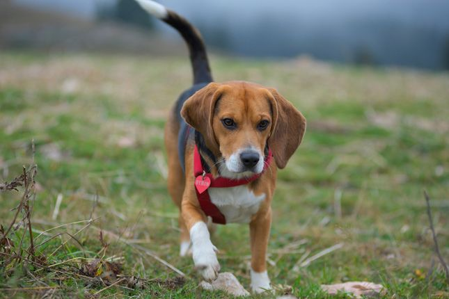 Beagles Are Scenthounds Meaning They Live To Use Their Nose They