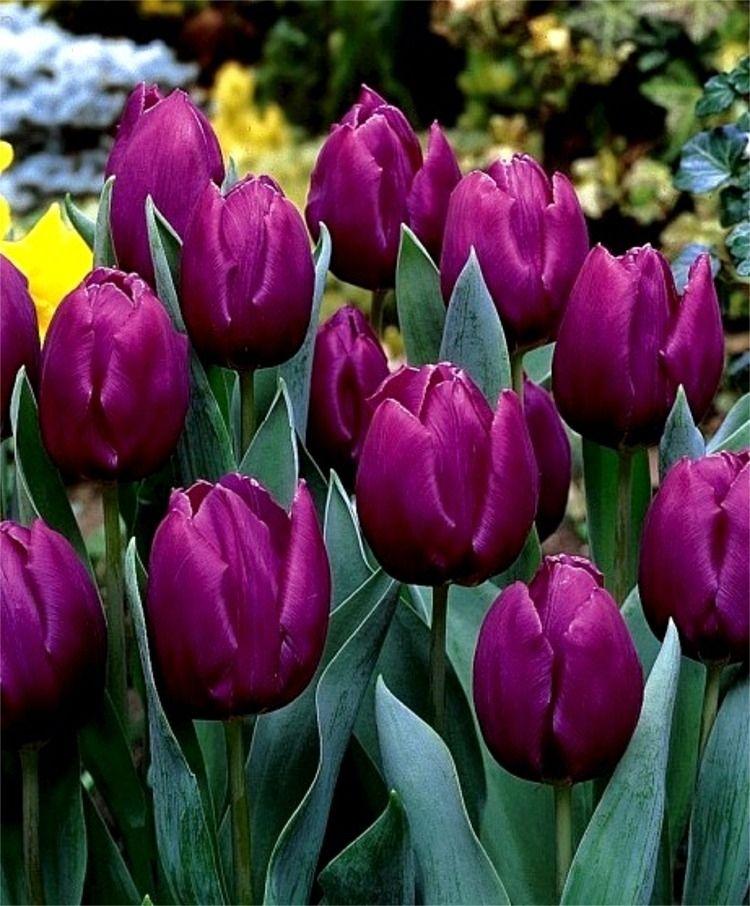 Gorgeous tulip 10 cm