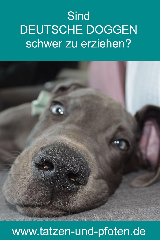 Sind Deutsche Doggen Schwer Zu Erziehen In 2020 Deutsche Doggen Deutsche Dogge Welpen Deutsche Dogge