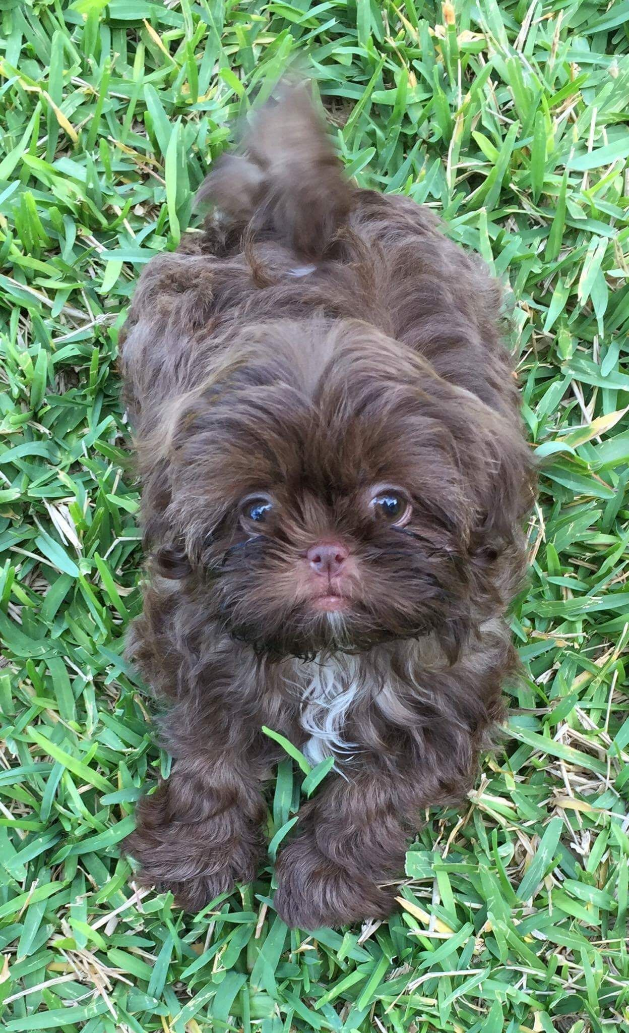 Chocolate ShihTzu from Glory Ridge Shihtzu Shih tzu