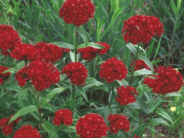 Sweet William Dianthus Barbatus In 2020 Sweet William Flowers Dianthus Barbatus Flowers Perennials