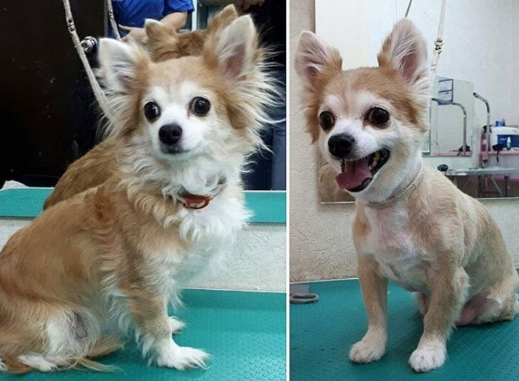 10 Best Long Haired Chihuahua Haircuts The Paws Chihuahua Dogs Clothes Long Haired Chihuahua Chihuahua