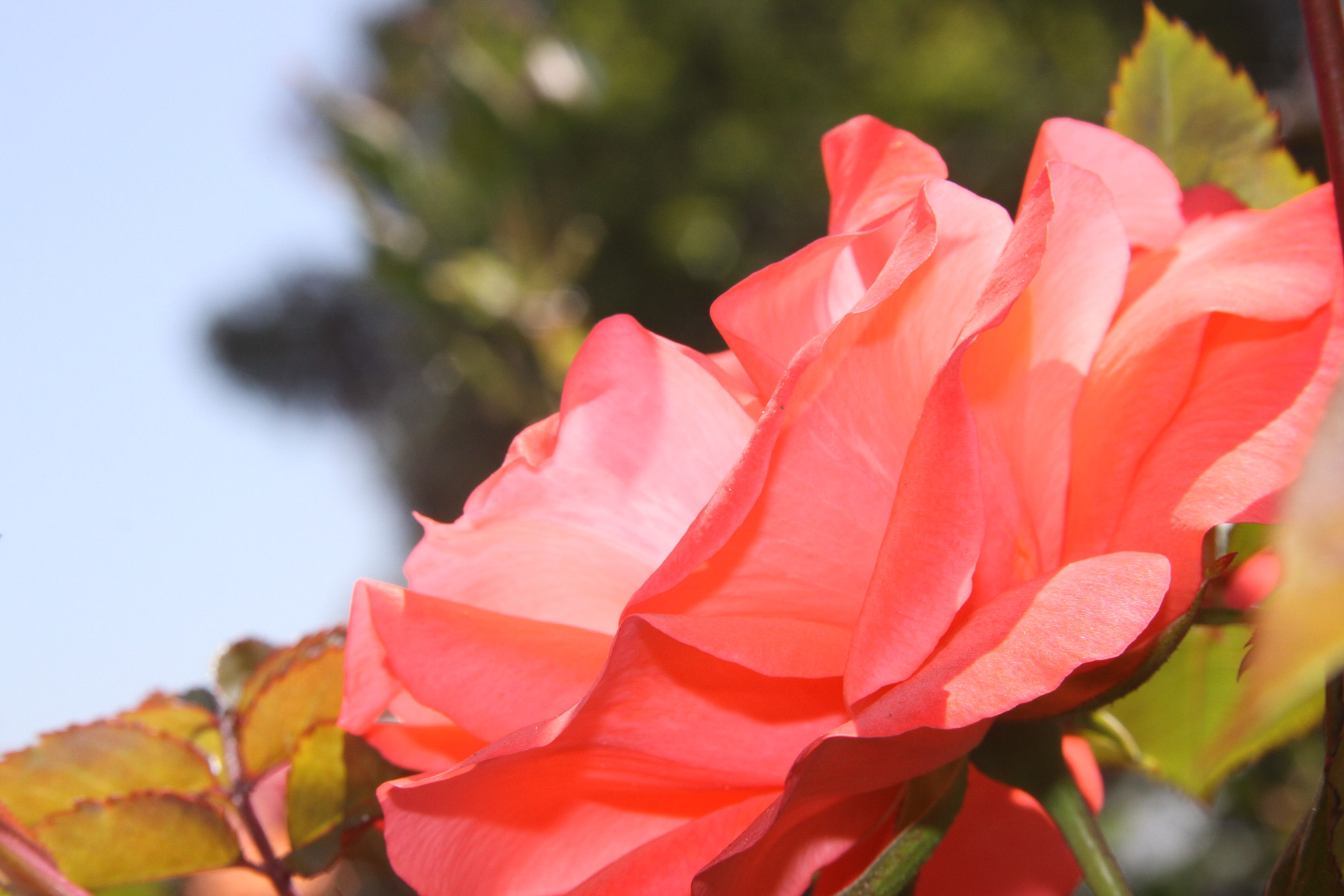 Rose in bloom, Balboa Park