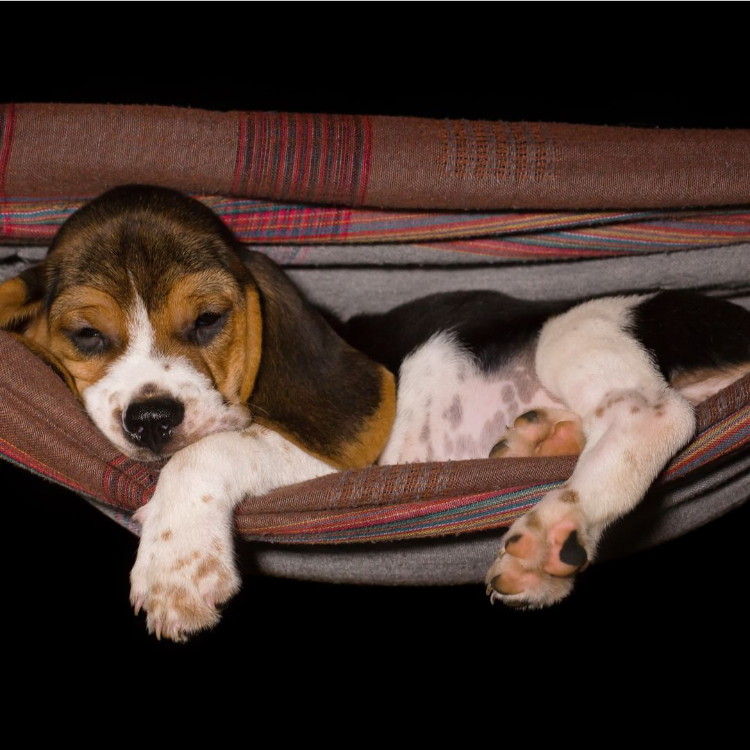 Cute Beagle Puppy Sleeping In A Hammock With Images Cute