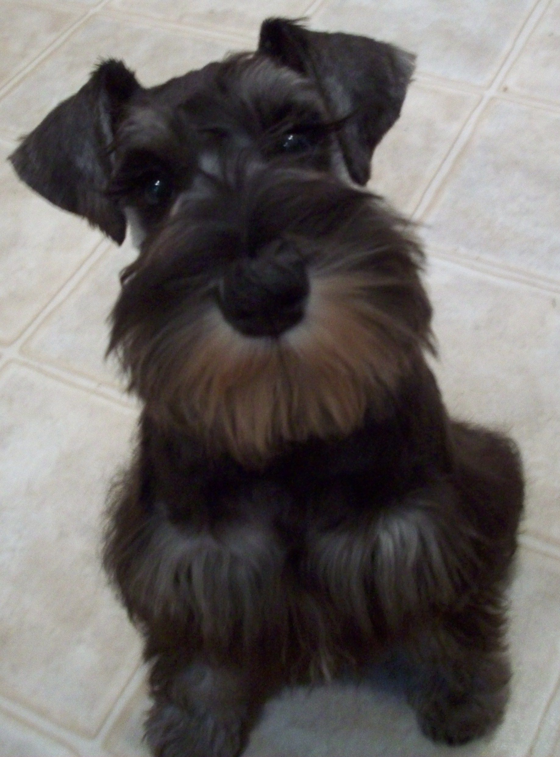 Pin By Teri Giese On Darling Dogs Miniature Schnauzer Miniature Schnauzer Puppies Schnauzer