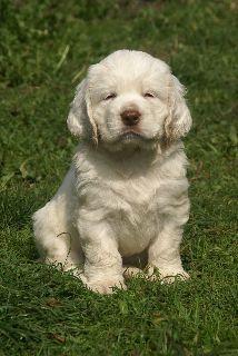 Clumber Spaniel Clumber Spaniel Spaniel Puppies Puppies