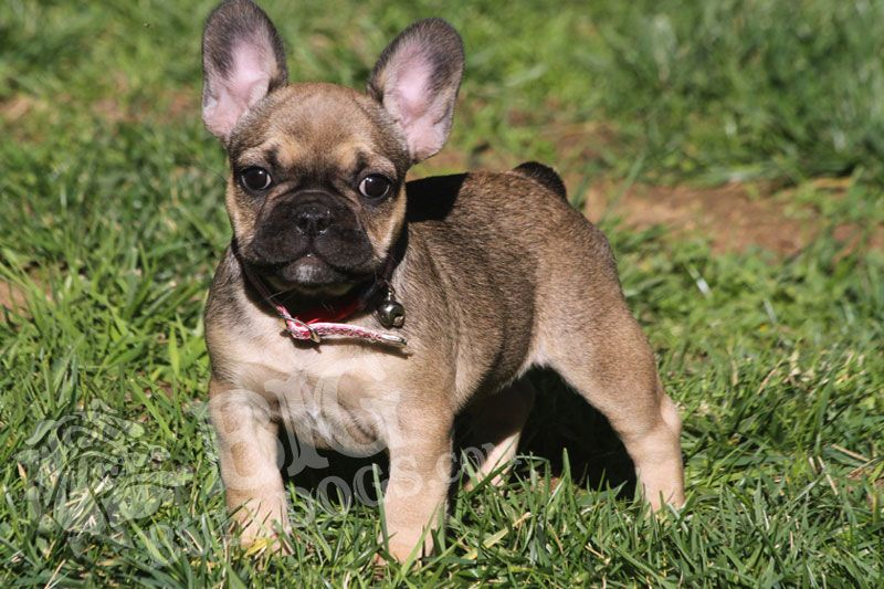 Pin By Julie Averett On Pups French Bulldog Breeders French