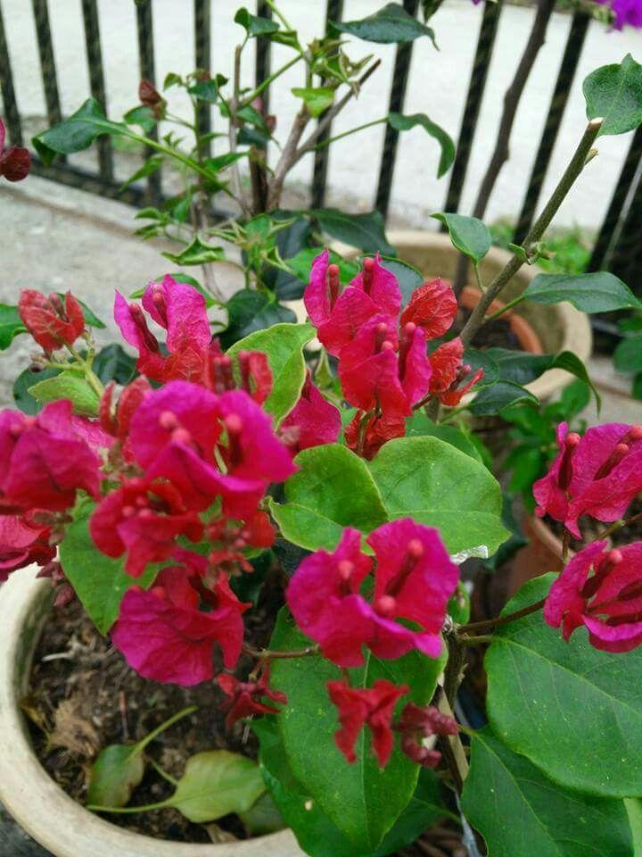 Hujan Panas Merah Flowers Planting Flowers Plants