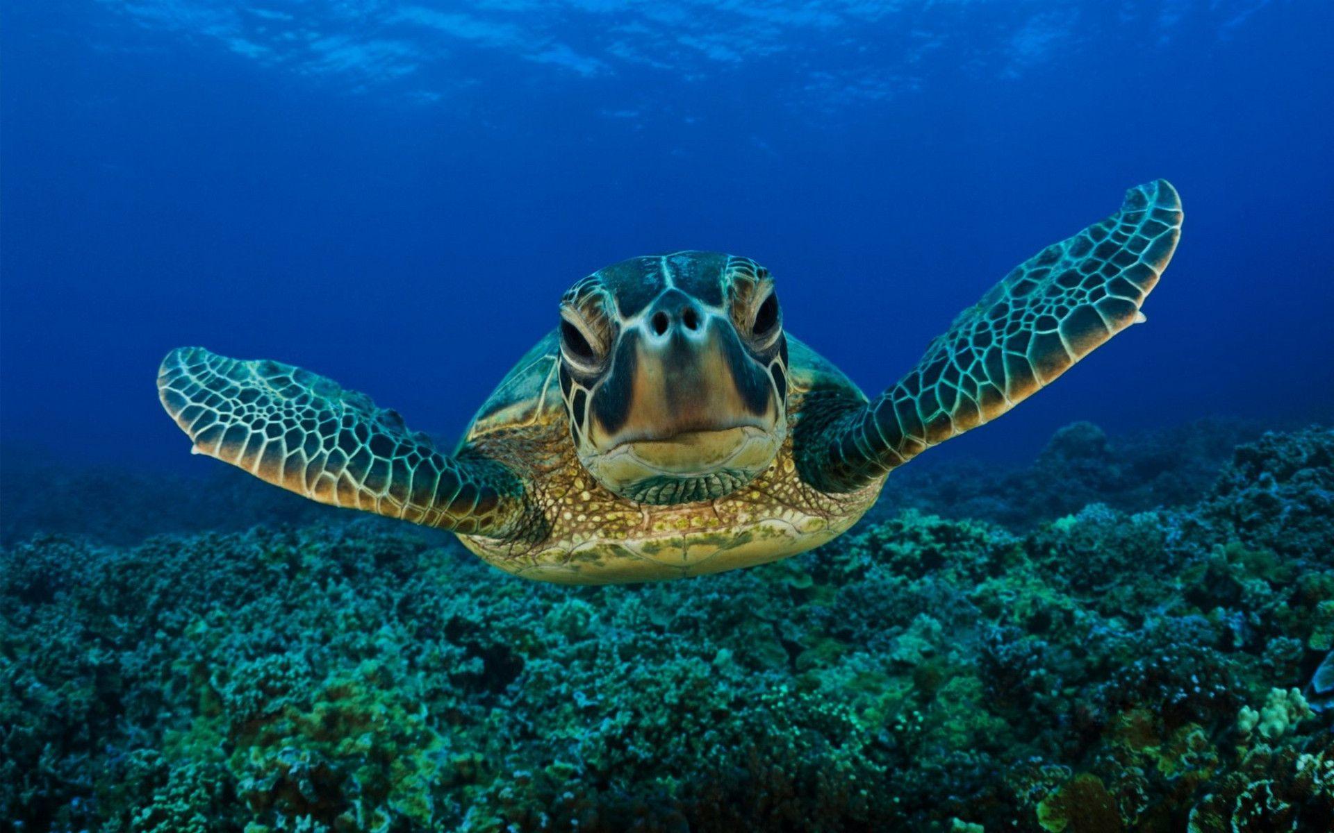 Sweet shot of a sea turtle! Sea turtle wallpaper