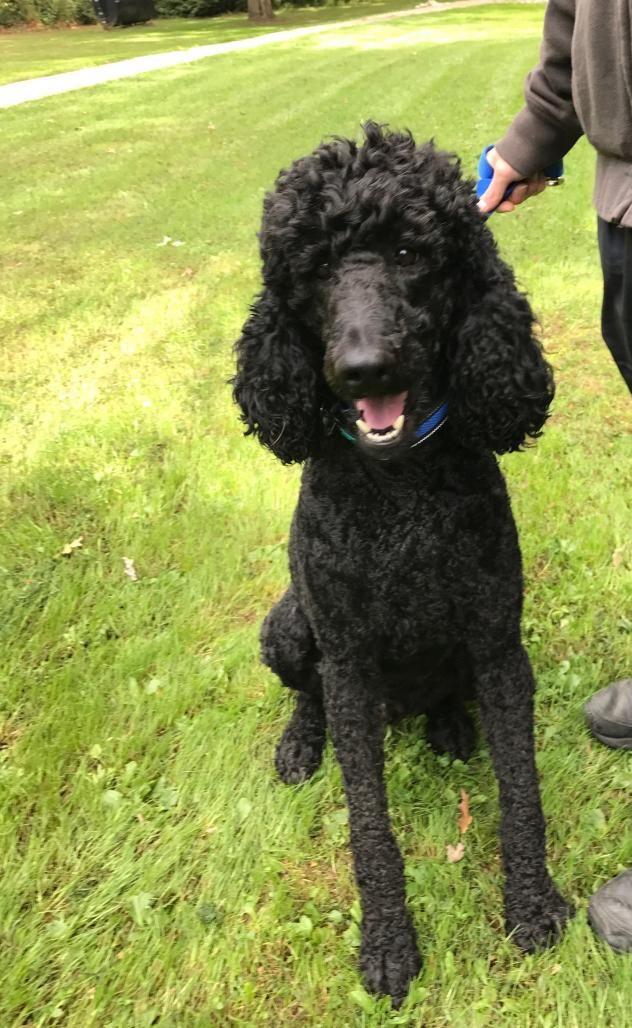 Adopt Ranger On Poodle Dog Pets Standard Poodle