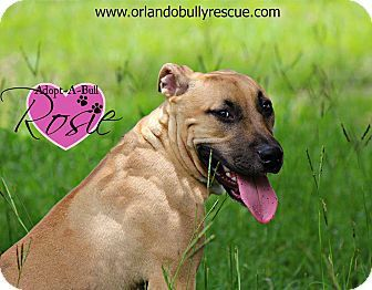 Orlando Fl Black Mouth Cur Rhodesian Ridgeback Mix Meet Rosie