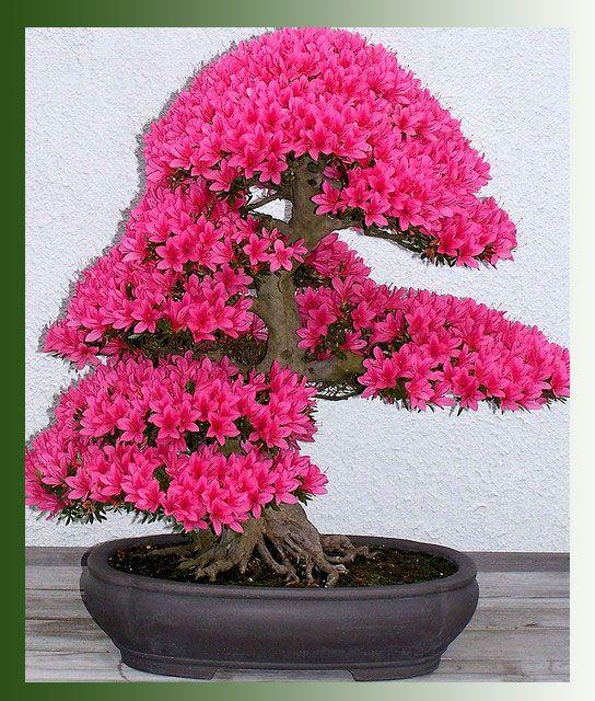 семена японского дерева