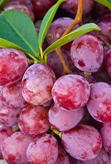 Para qué sirve la uva?  Una de las propiedades de la uva es un compuesto fitoquímico polifenólico llamado resveratrol. Otro compuesto polifenólico antioxidante en la uva son las antocianinas, principalmente abundante en las uvas rojas. Las uvas tienen un contenido calórico muy bajo, 100 g de uvas frescas aportan tan sólo 69 calorías y nada de colesterol. Entre los minerales de la uva se encuentra el cobre, el hierro y el manganeso.
