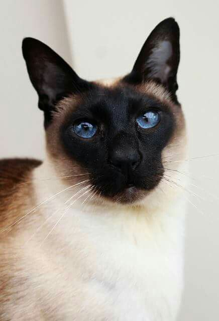 Pin By Elle Mulcahy On That Darn Siamese Havana Brown Cat Brown Cat Cat Day