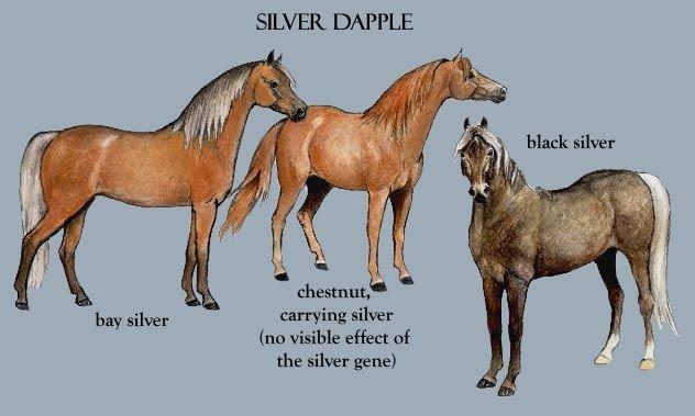 Silver Dapple Morgan Horses Horse Coat Colors Morgan Horse Horses