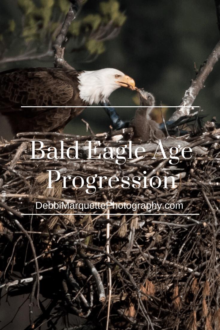 Bald Eagle Age Progression | Bald eagle, Age progression ...