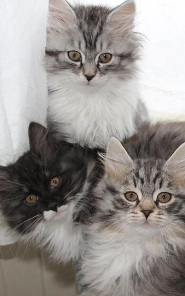 Kittens For Sale in Florida - Kittens | Cats and Kittens | Himalayan