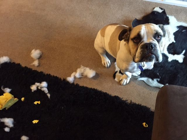 Fred denied all knowledge about what happened to the chicken but the stuffing in his teeth suggested otherwise...