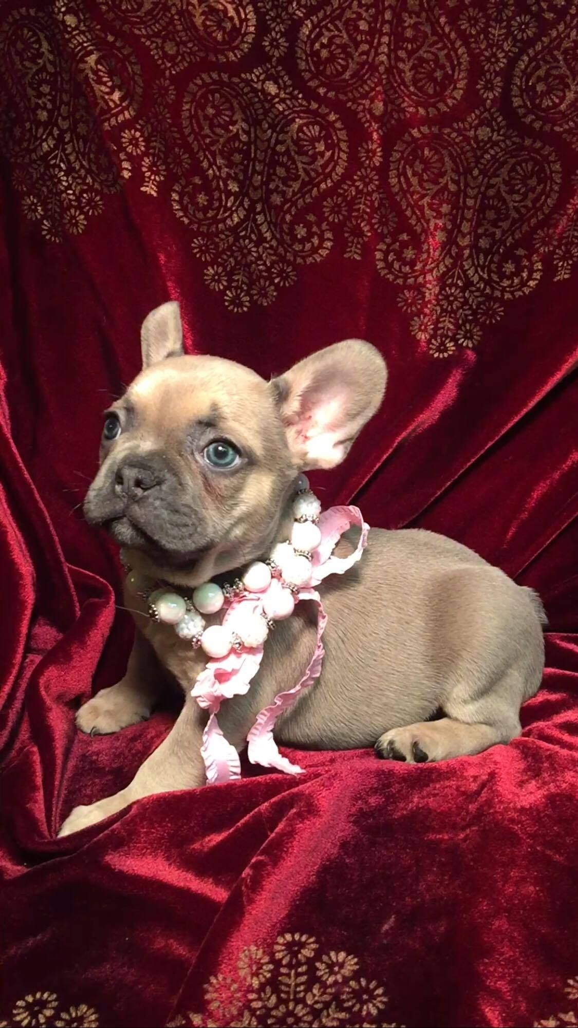 Blue Fawn Sable French Bulldog Available She Will Make The