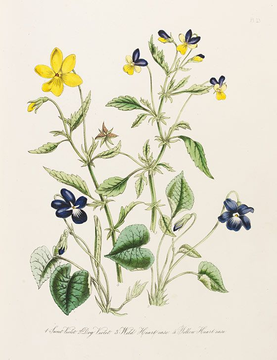 Jane Loudon 1807 1858 British Wild Flowers L Victoria And